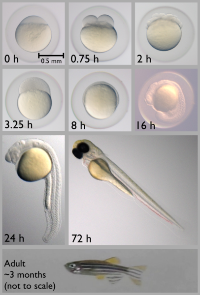 Different Stages of Zebrafish