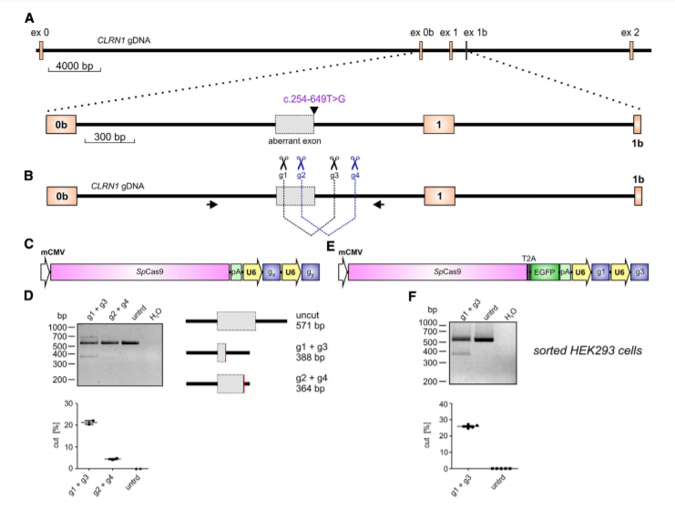 CRISPR-Cas9-Mediated CLRN1 Editing